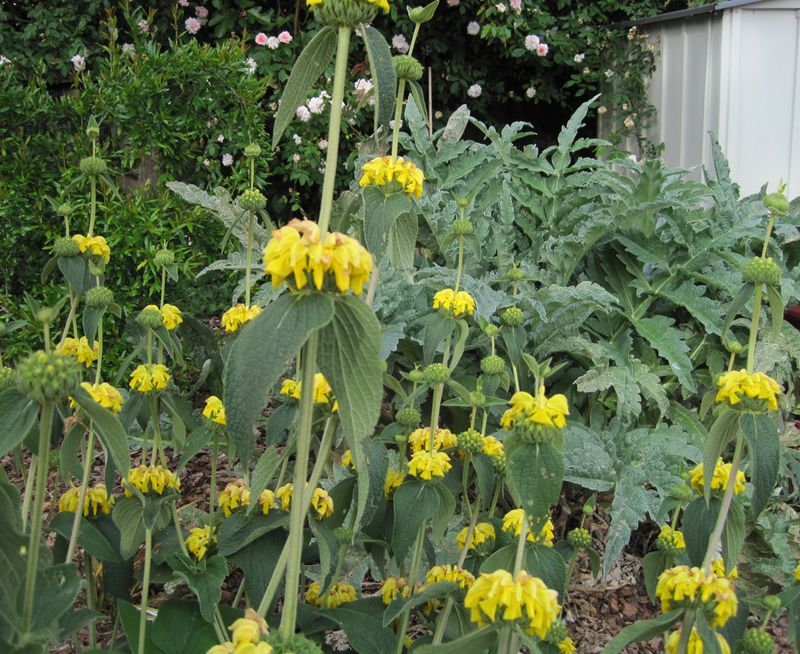 Artichokeplant