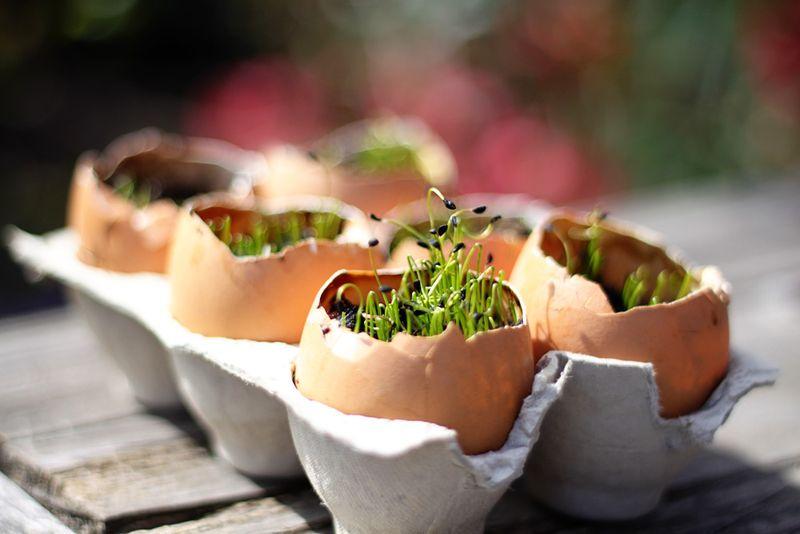 Eggseedlings1