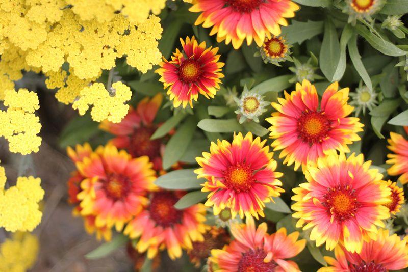 Yarrow and blanket flower