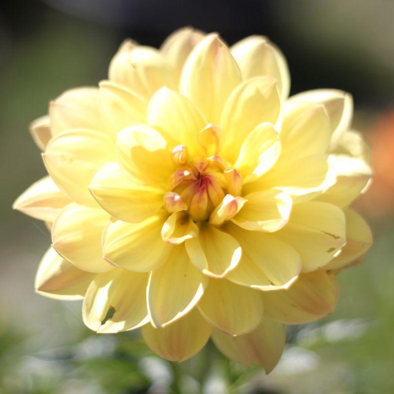 Lotus dahlia