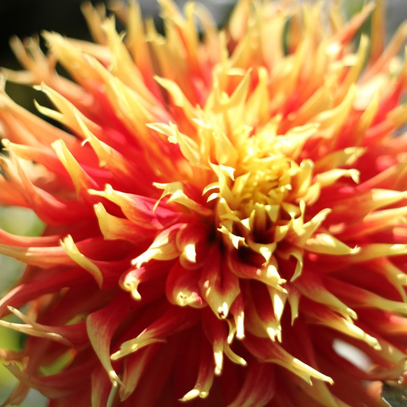 Flame tipped dahlia
