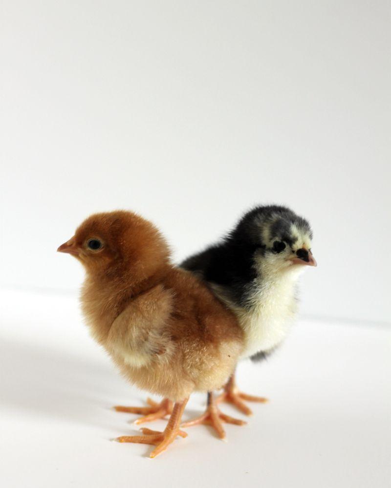 Heart shaped chicks